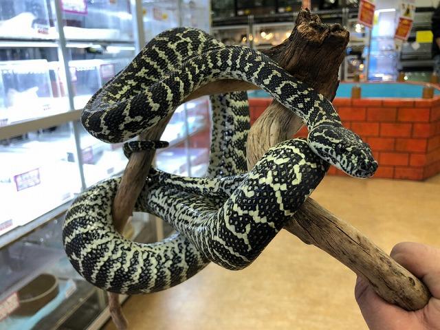 まだまだ来てます!トカゲ・ヘビ・蟲@インター爬虫類