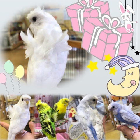 【インター小動物】リアル天使が降臨したぞ!羽衣背黄青鸚哥再び!