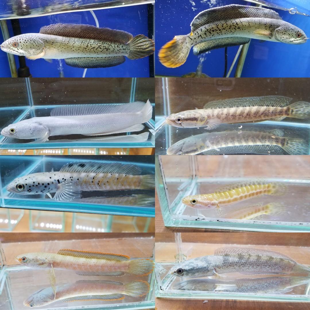 チャンナバルカ スネークヘッドの在庫 春日井熱帯魚