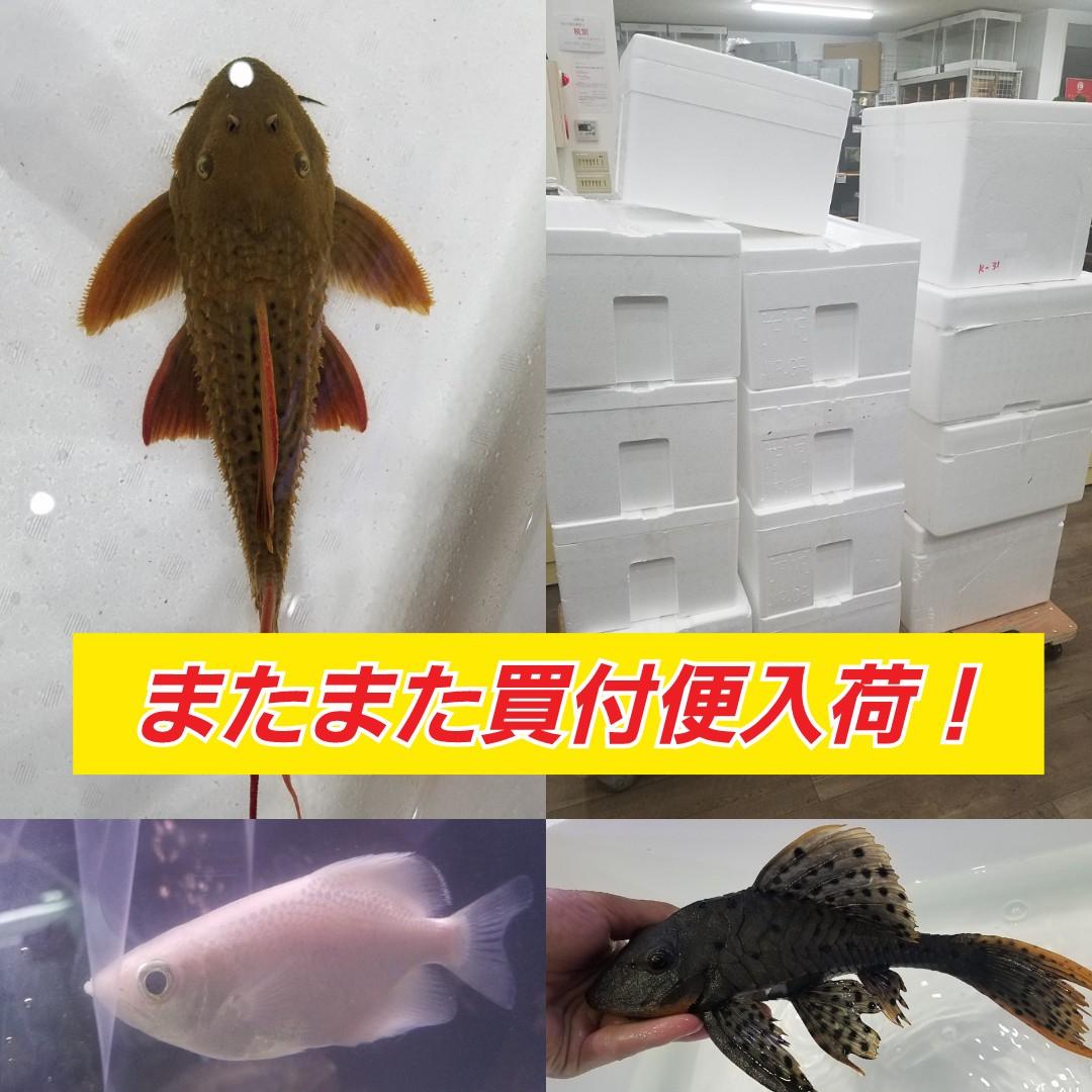 またまた買付便大量入荷!春日井熱帯魚