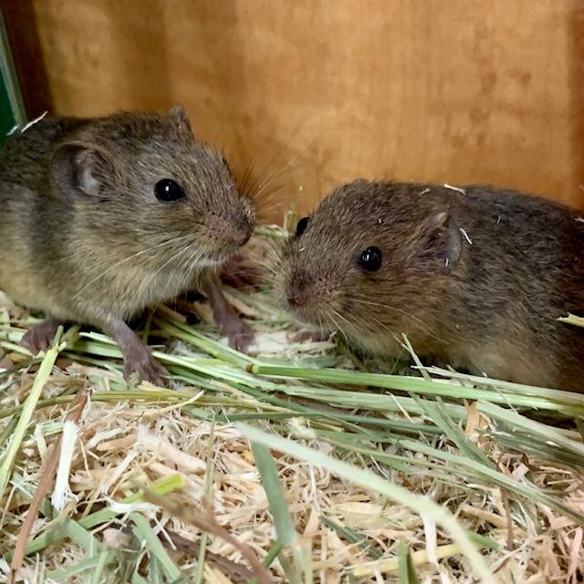 【春ペポニ】珍種ネズミ到着!