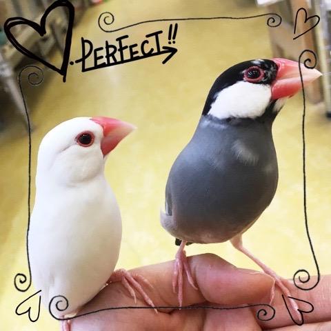 【インター小動物】仲良し文鳥コンビです✨