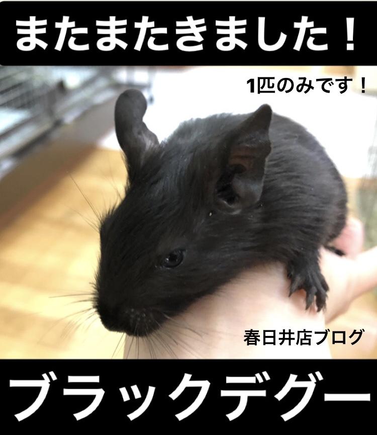 【 春ペポニ 】ブラックデグーとロボロフスキーハムスターの新着ブログ!