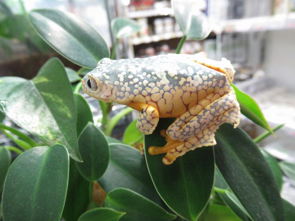カエル新着色々、ツノガエルも色々!@みなとペポニ