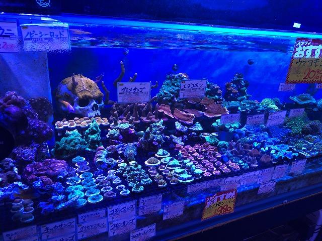 サンゴ在庫てんこ盛り(*´∀`)