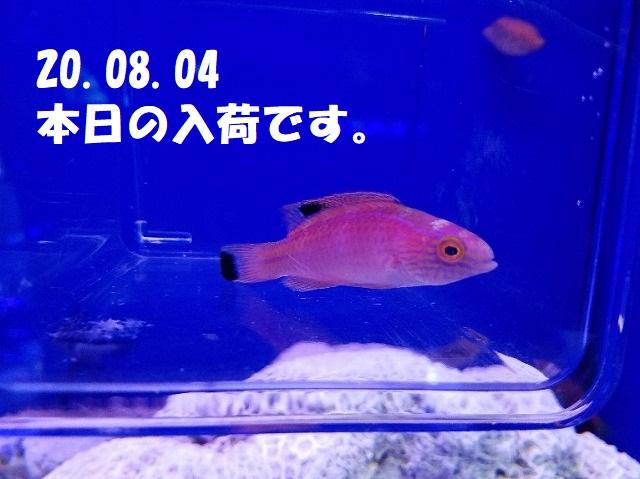春日井店 海水ブログ 200804