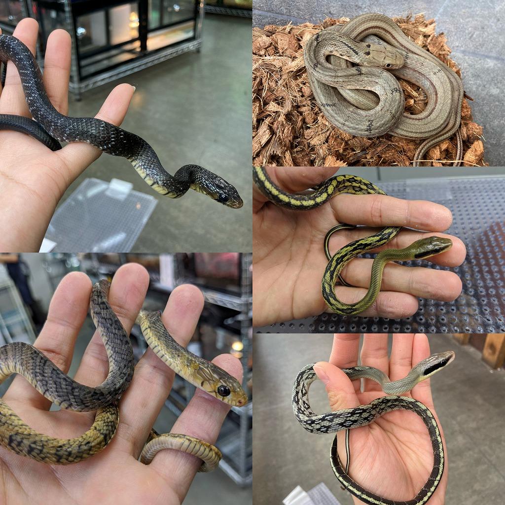 至高のナミヘビたち@みなとペポニ
