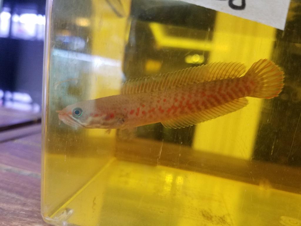 10月27日の新入荷 春日井熱帯魚