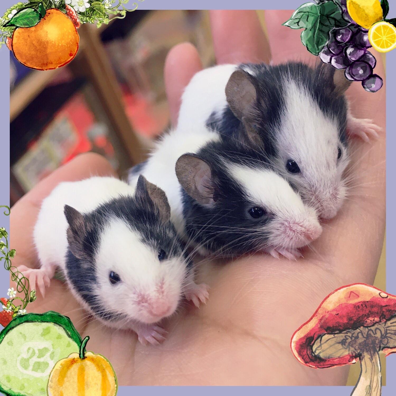 【インター小動物】新着☆ユニークなネズミ達です🐼🐭