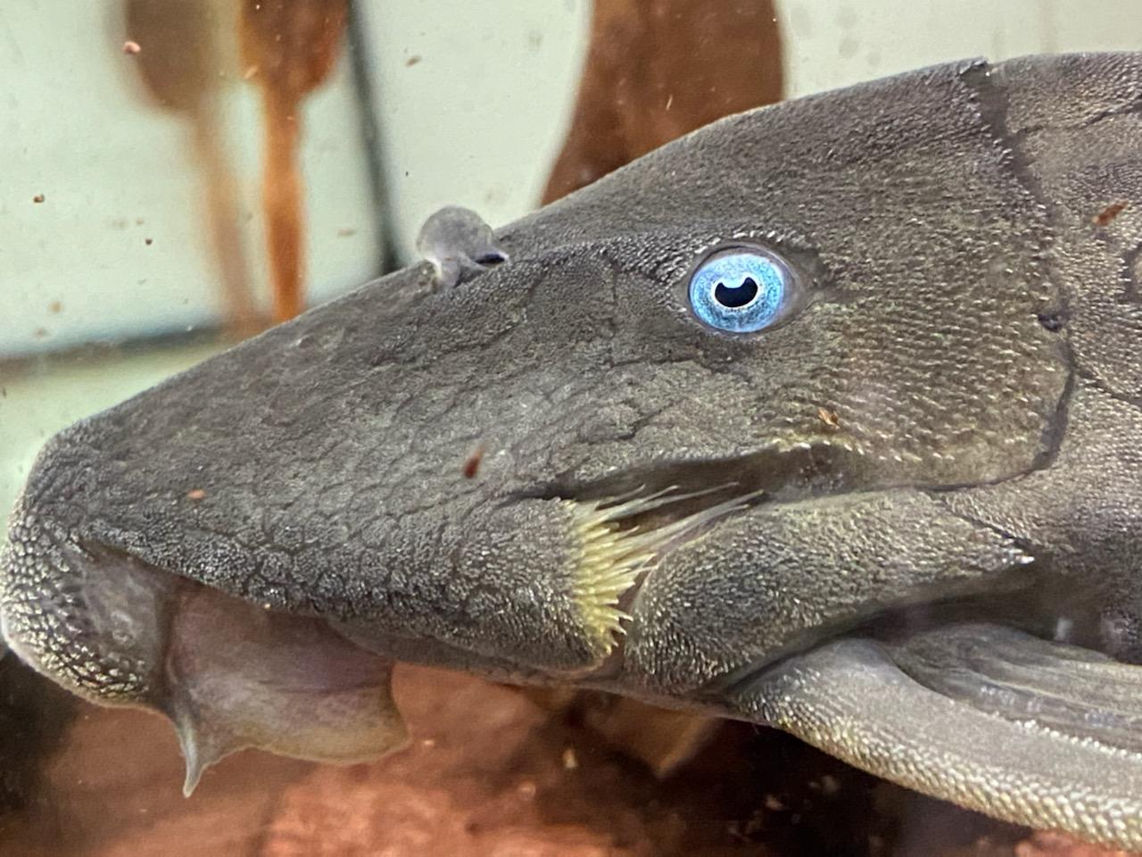 青眼のプレコ!