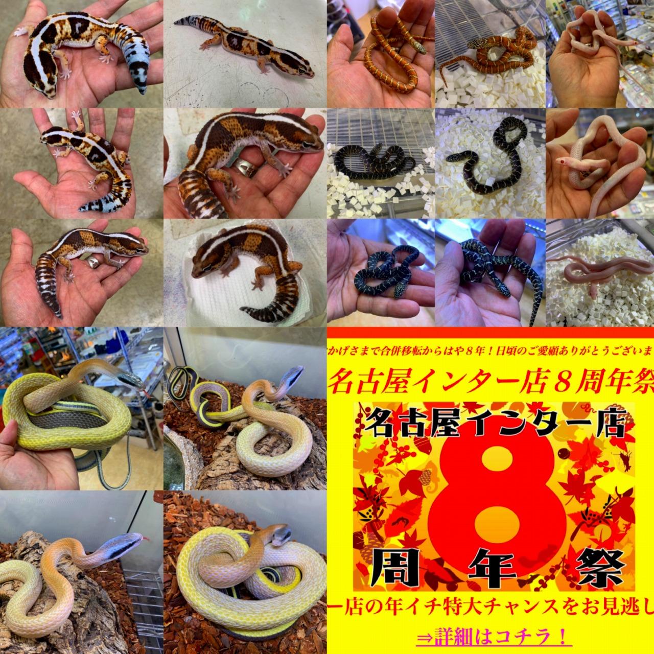 ペポニ@インター店の新着生体のお知らせ♪名古屋インター店周年祭大盛況開催中!