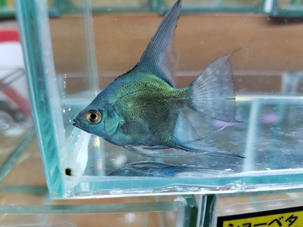 アバターゼブラ、ゴリアテタイガー、マッドフィッシュ入荷 春日井熱帯魚