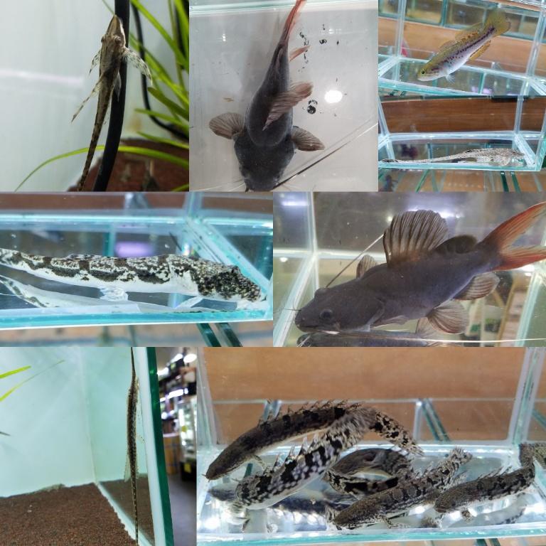 ファロウェラ色々 春日井熱帯魚