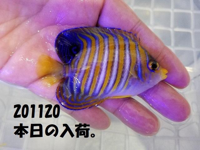 春日井店 海水ブログ 201120