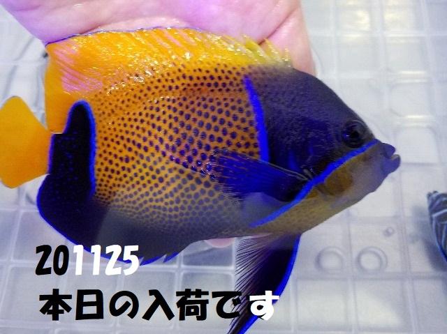 春日井店 海水ブログ 201125