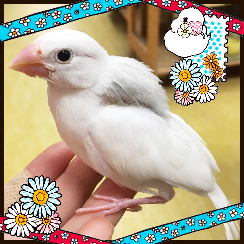 【インター小動物】白銀文鳥、降雪の報せです❄