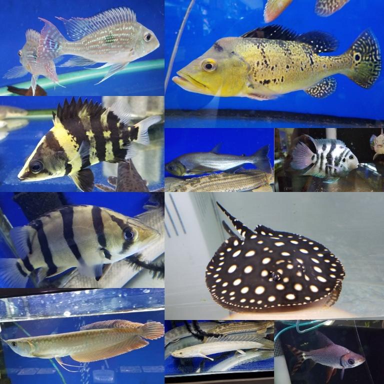 オススメピック 大型魚編 春日井熱帯魚