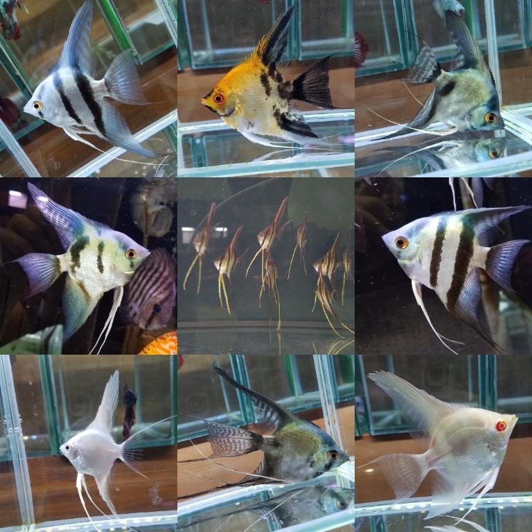 エンゼルフィッシュの在庫と新入荷 春日井熱帯魚