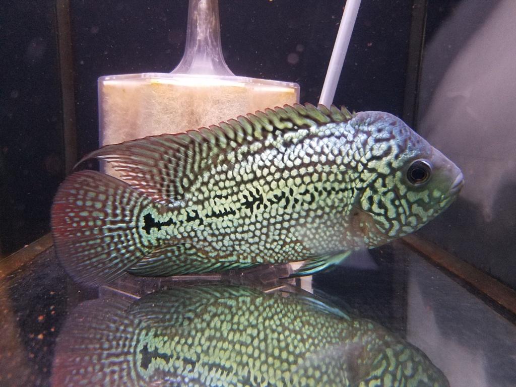キングカムファ、ネグロアルタム、春日井熱帯魚