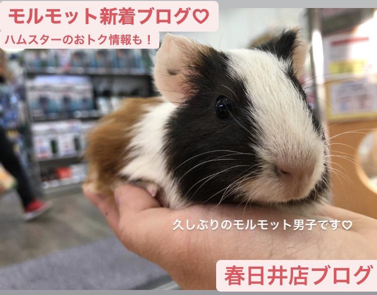 【 春ペポニ 】モルモットの新着とハムスターのおトク情報!