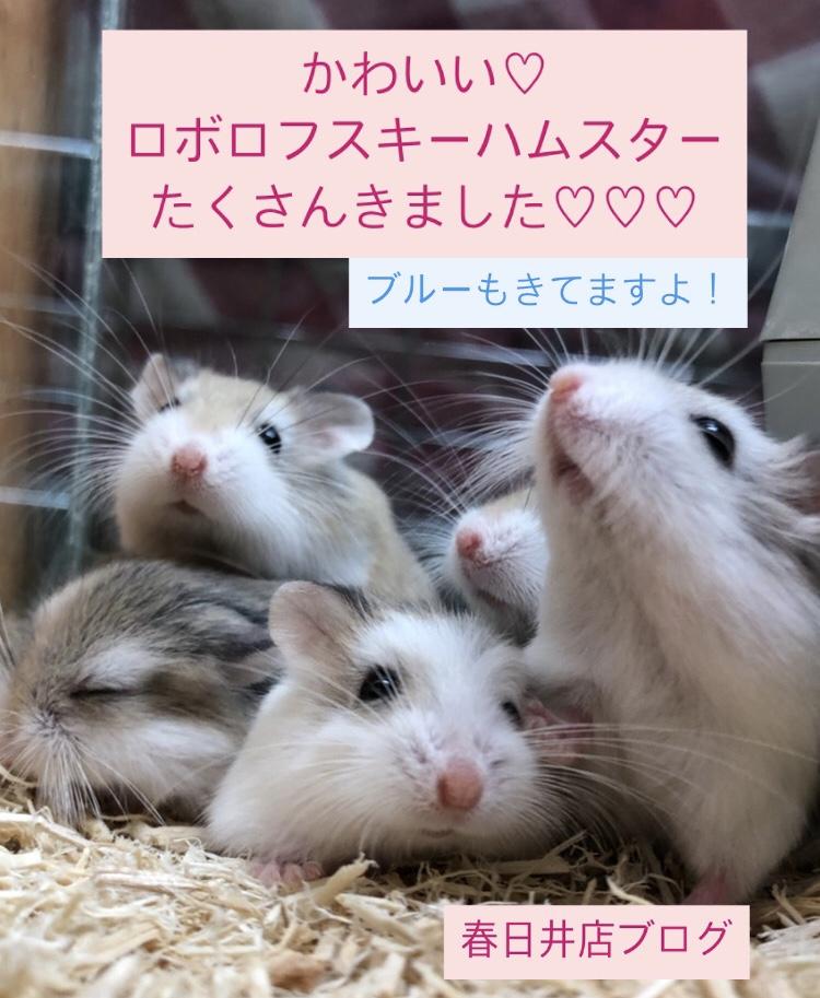 【 春ペポニ 】かわいい♡ロボロフスキーハムスター新着ブログ。