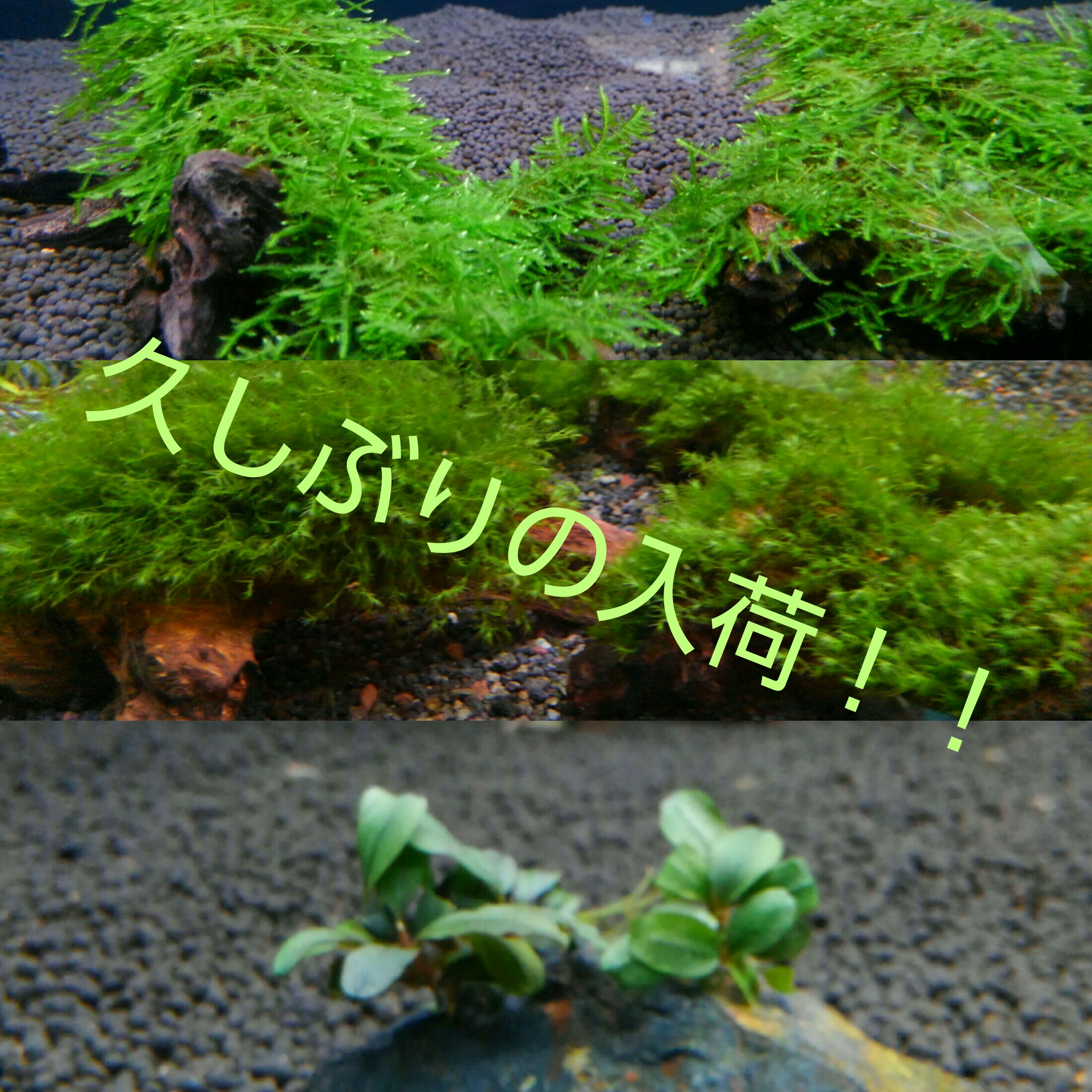 久しぶりの水草たち