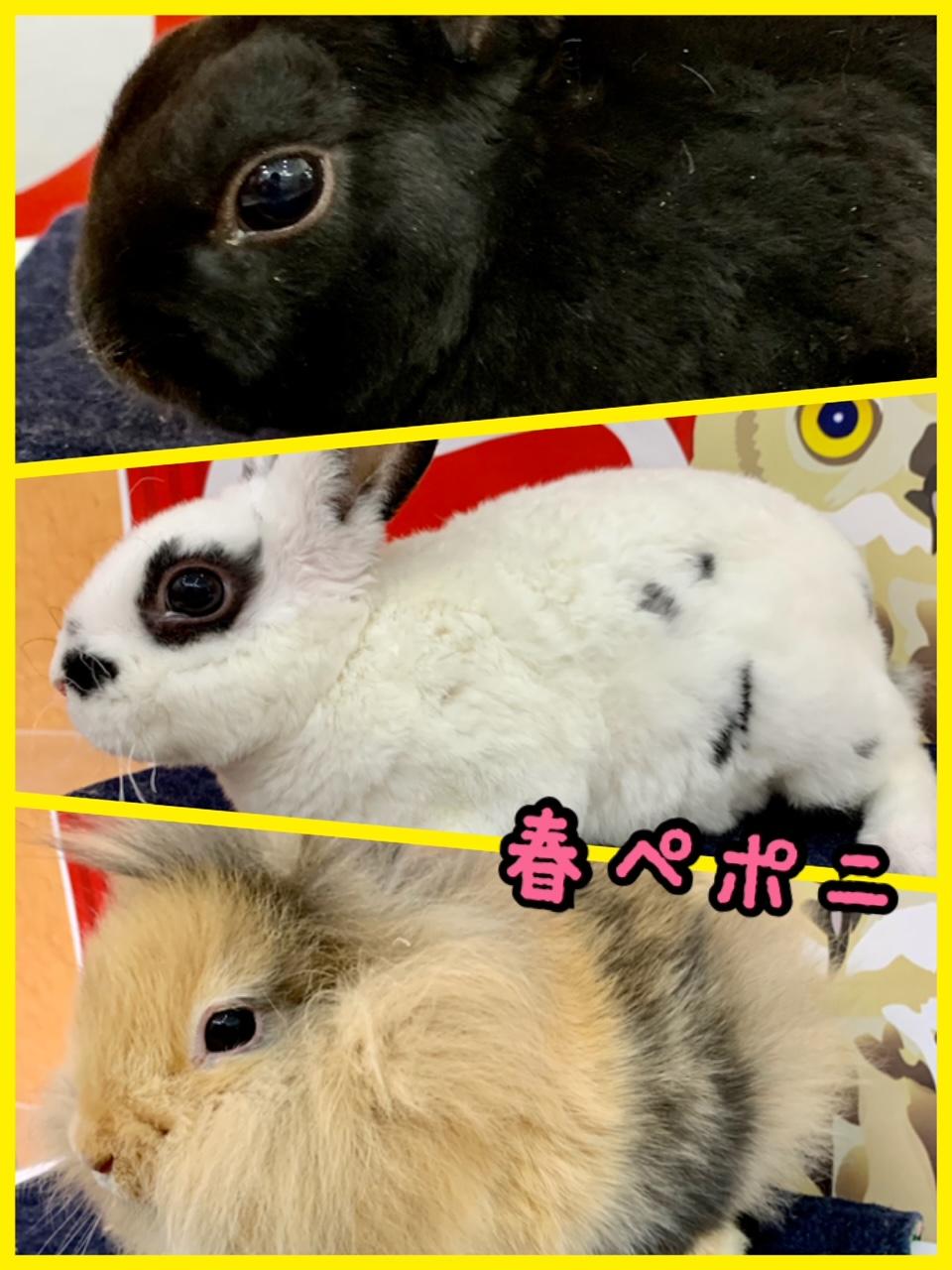 【春ペポニ】レアでノーマルなウサギ