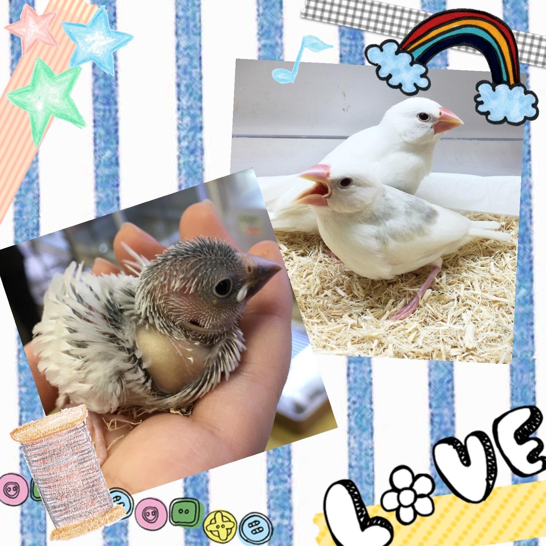 【インター小動物】追撃!!シルバー文鳥🌟