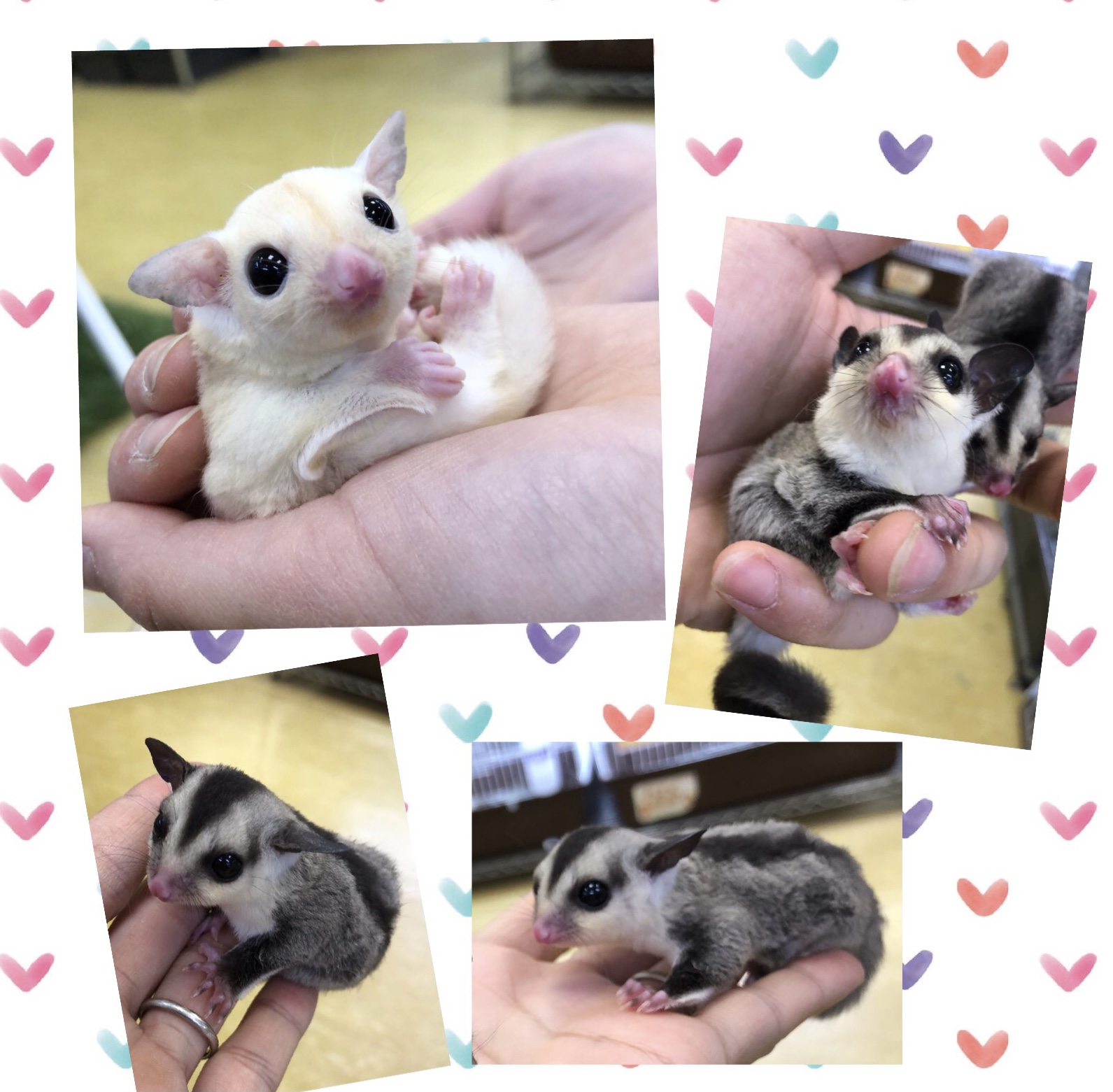 【インター小動物】激かわなフクモモベビーラッシュ!