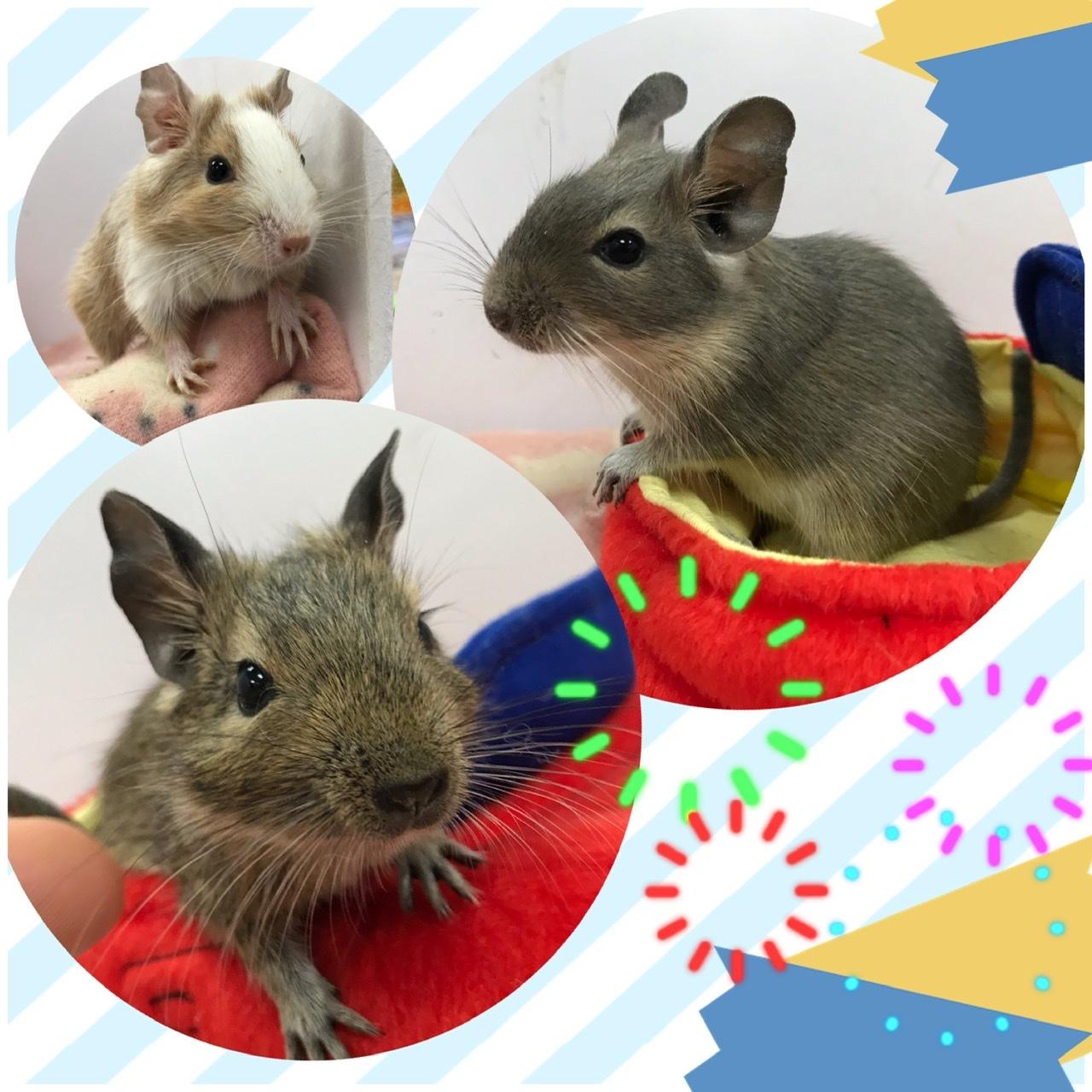 【インター小動物】デグーマウス 新着!!甘ーいカラーはお好きですか?