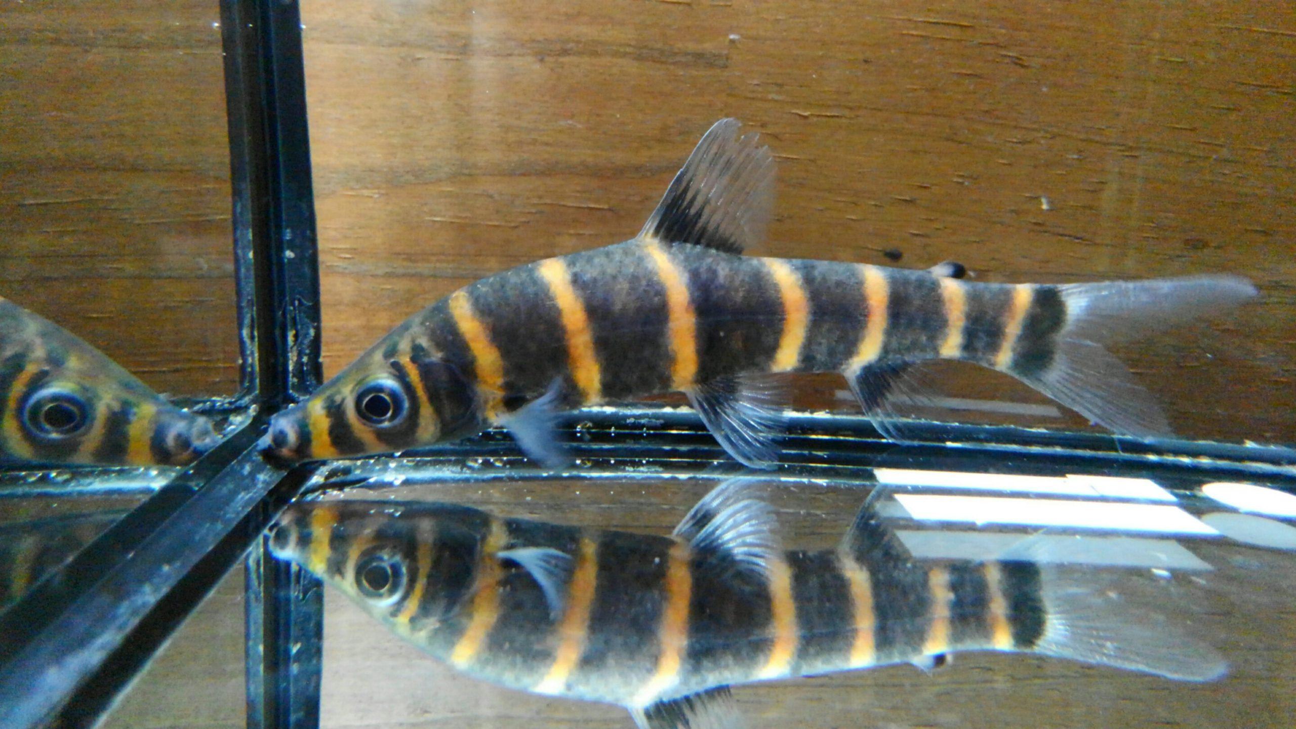1月17日新入荷 春日井熱帯魚