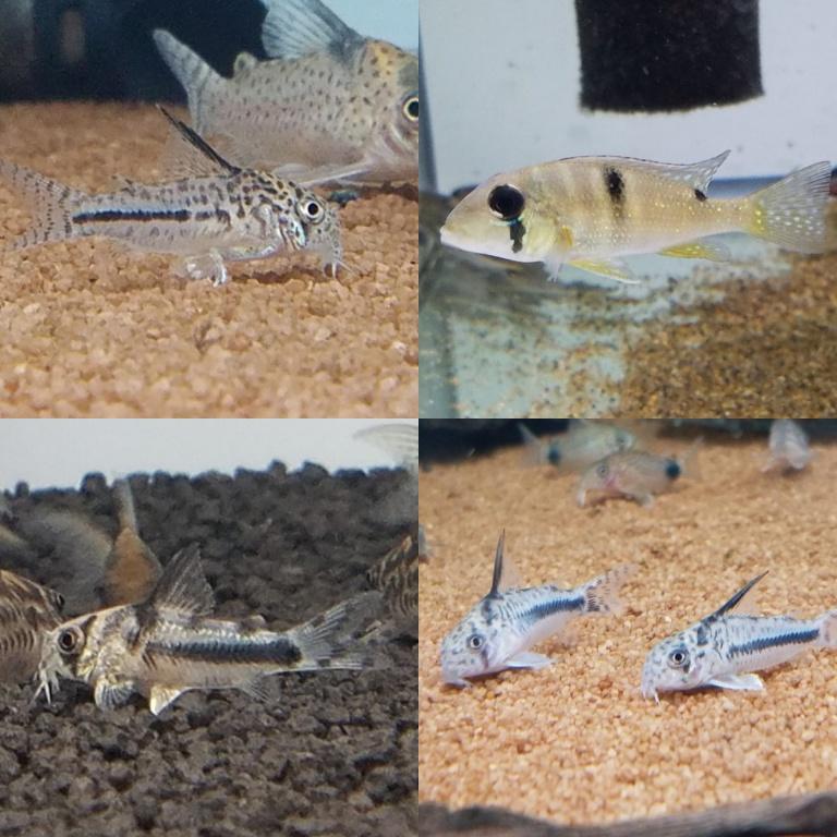 秘境 スリナムの魅力的な魚達 春日井熱帯魚