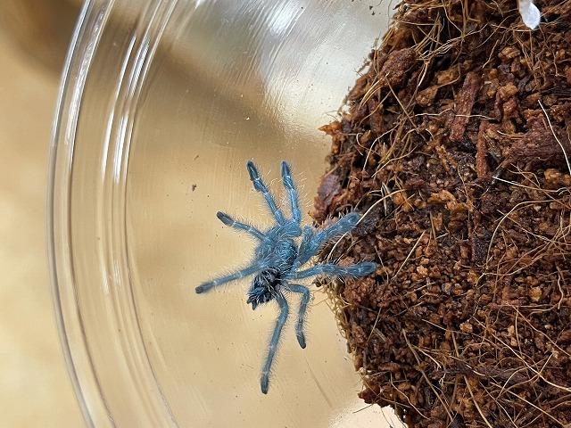 蜘蛛も大量入荷!!@インター爬虫類