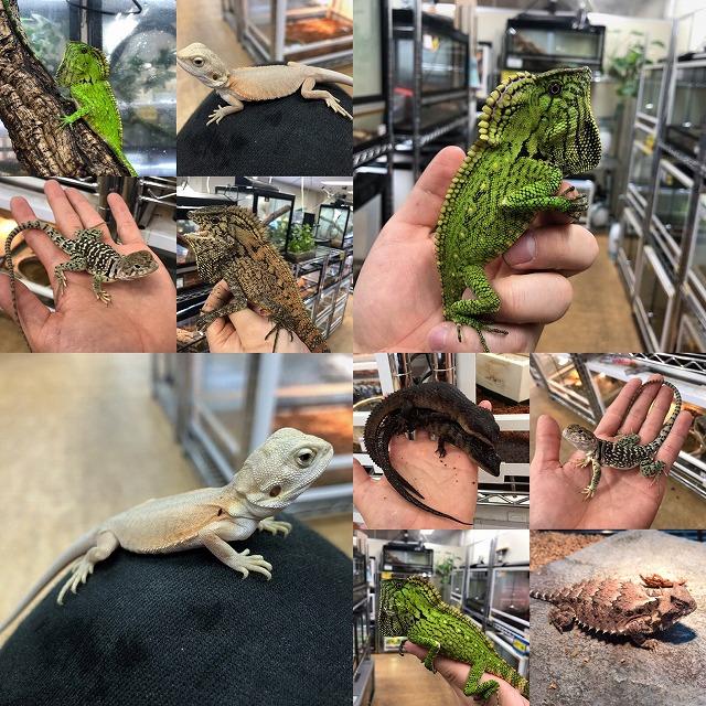 EU便などなど、トカゲも来てます!!@インター爬虫類