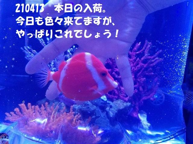 春日井店 海水ブログ 210413