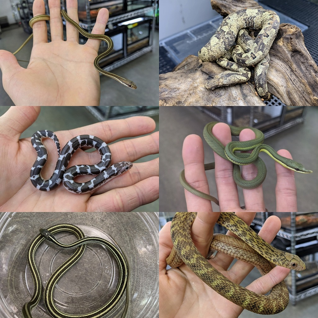 ちょっと変わったヘビたち!!@みなとペポニ
