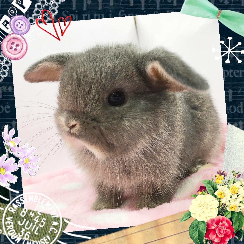 【インター小動物】可愛さ満開のベビうさ達🌸 ロップ&レッキス編