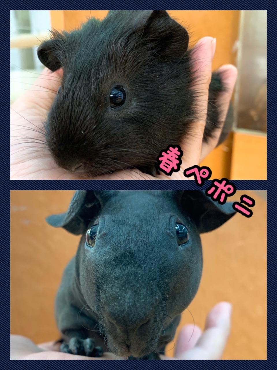 【春ペポニ】黒々ぷいぷい♪