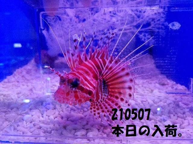 春日井店 海水ブログ 210507