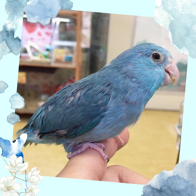 【インター小動物】小さな小さな青い鳥♪♪