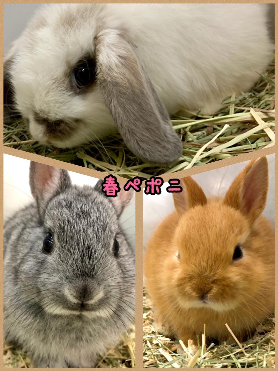 【春ペポニ】ウサギが止まらない!!