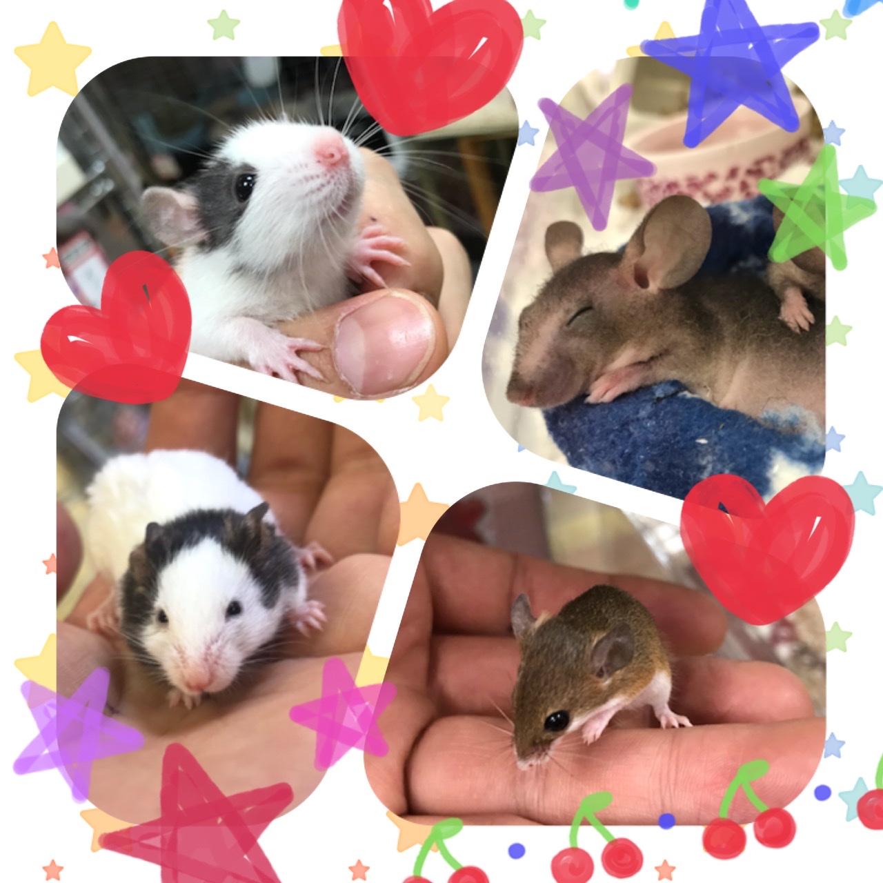 【インター小動物】ネズミ新着てんこ盛り盛り!!!