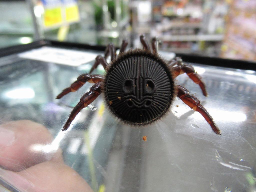 待望のメタリカ&ゴライアスWCなど人気の蜘蛛続々と!!@みなとペポニ