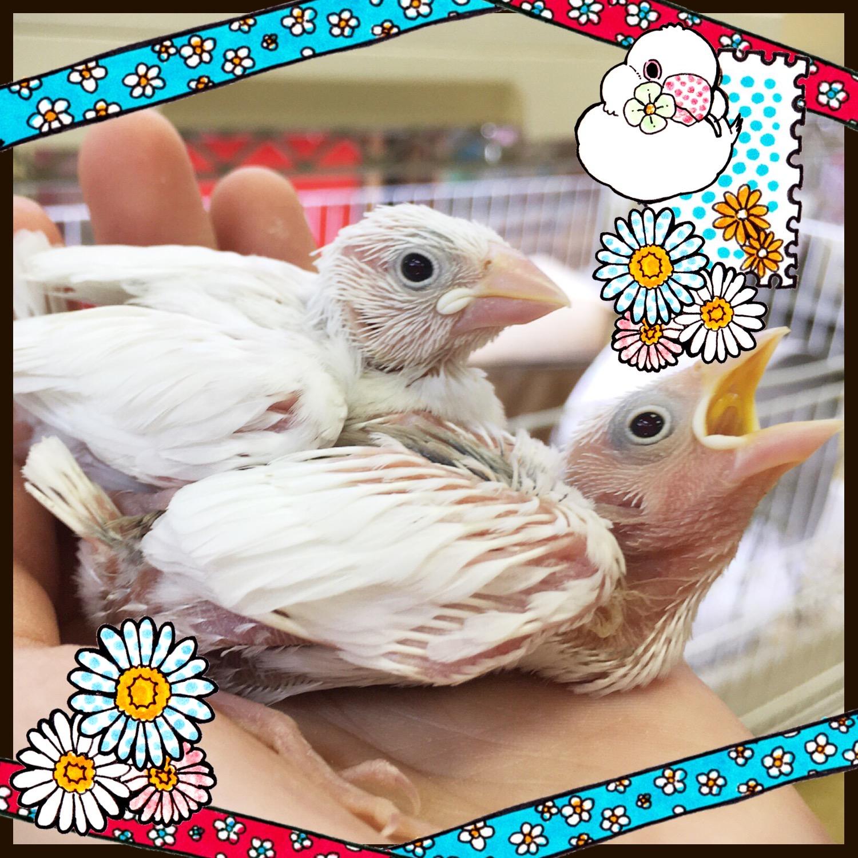 【インター小動物】文鳥ヒナが再入店です♪♪