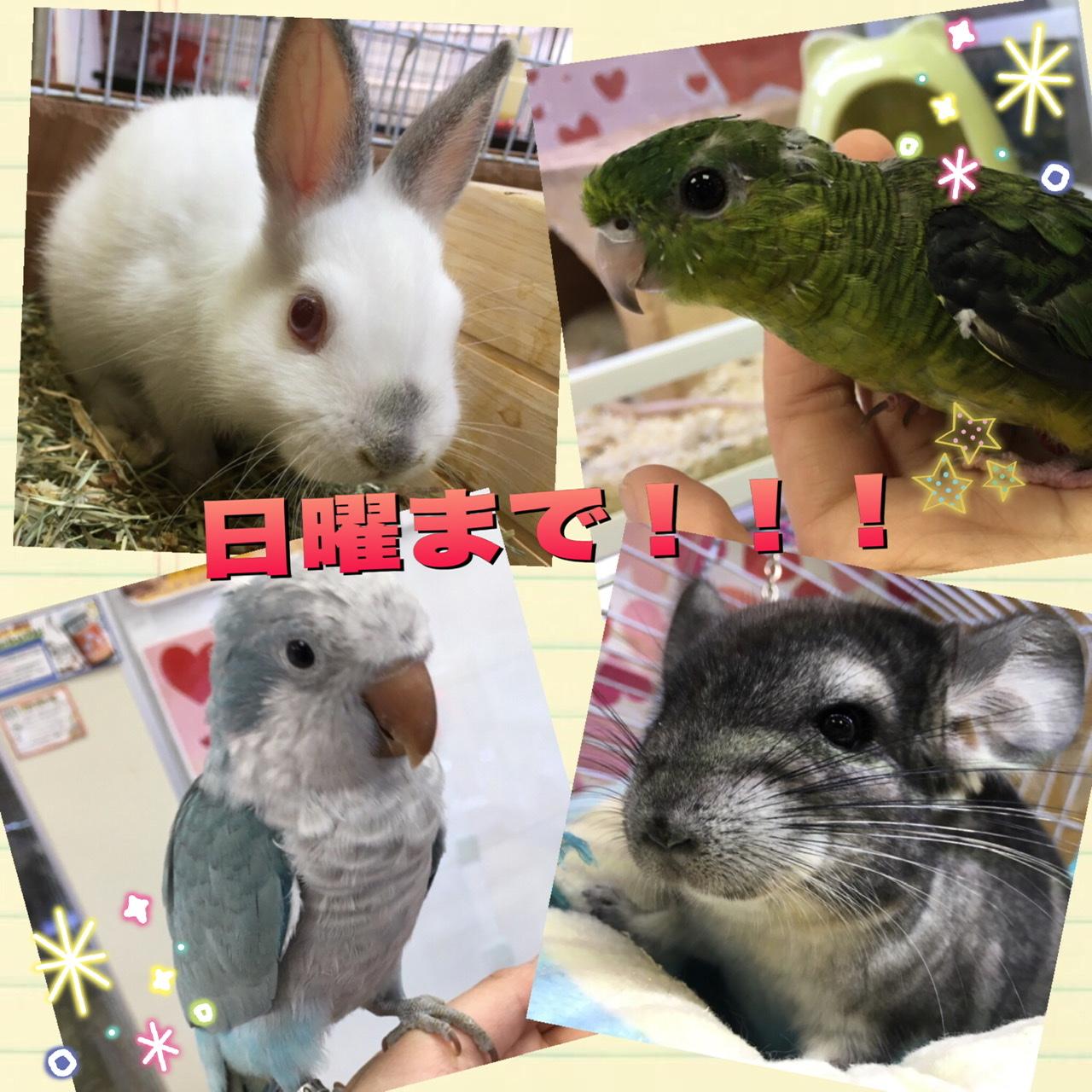 【インター小動物】日曜まで特価!