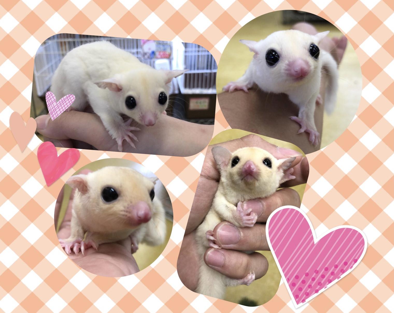【インター小動物】白モモフィーバー!