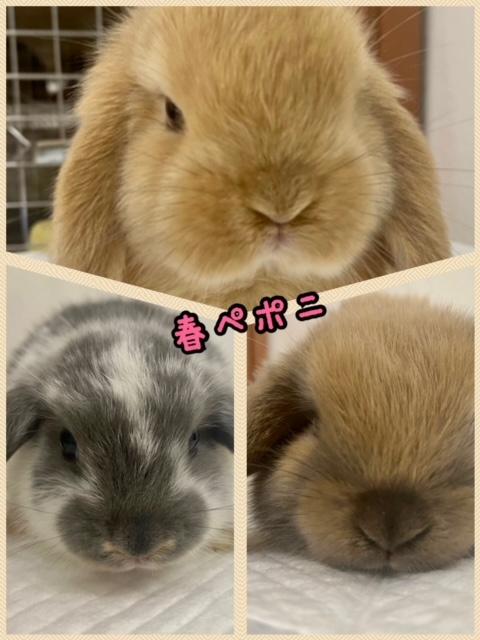 【春ペポニ】癒やし系ウサギはこちら♪