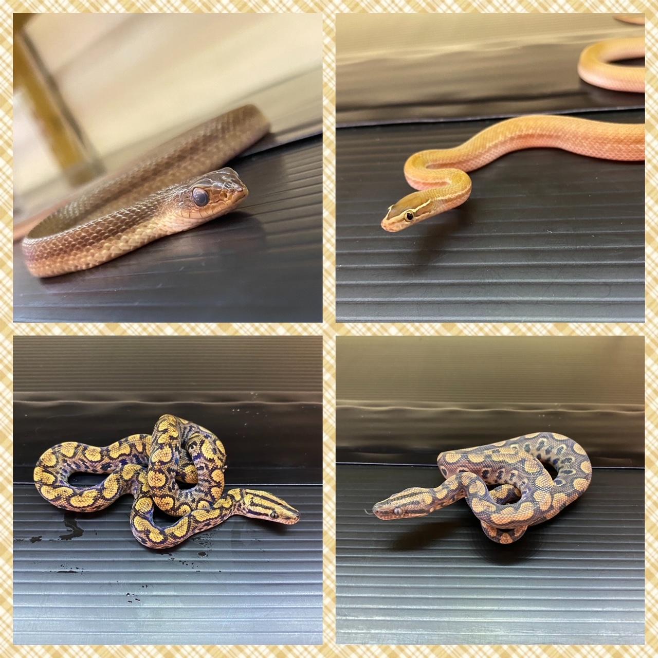 【春ペポニ】色んなヘビの新入荷!②